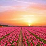 Blomsterindustrins hjärta, Holland